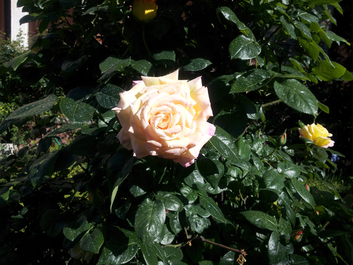 another Peace Rose in Venice