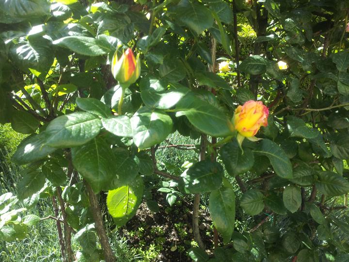 rosa Gioia in giardino di palazzo veneziano