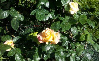 Die Edelrose Gloria Dei im Garten eines venezianischen Palastes