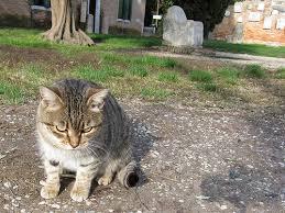 gatto 'torcellano'