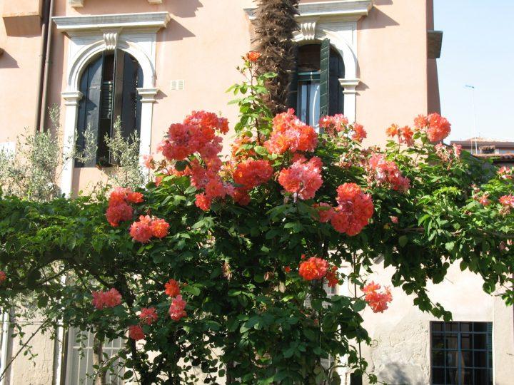 Le rose Lea Massari della pergola del giardini Morosini del Giardin a Venezia