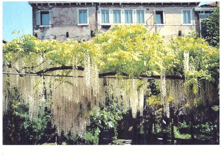 Wisteria of a different pergola of the garden Morosini del Giardin