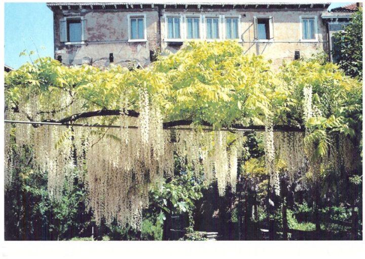 Wisteria of a different pergola of the garden Morosini del Giardin