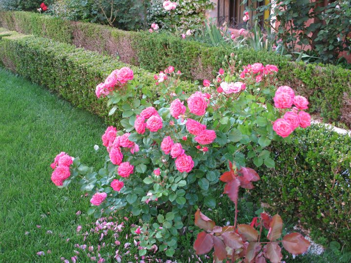 Chantal Mérieux roses stand alongside the walkway leading to the Grand Canal