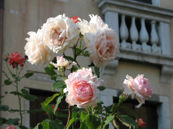 Capucci roses set against the backdrop of the piano nobile of the Barnabò palazzo