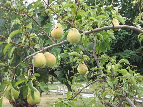 Williams pears