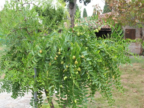 One of the convent's many jujube trees