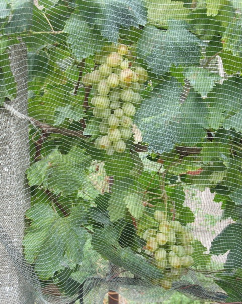 Netting protecting white grapes