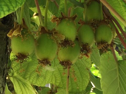 frutti di kiwi non ancora maturi