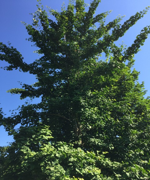 The towering, uneven branches of the ginkgo biloba