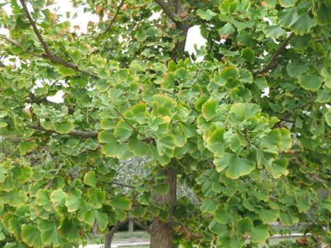 foglie bilobe del ginkgo biloba verso l'autunno