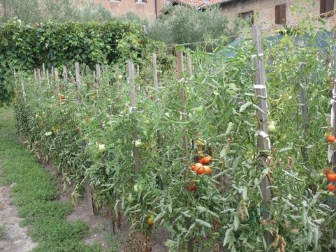 alcuni filari di pomodori