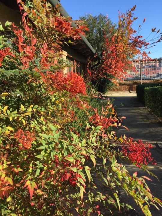 Photo 10: Nandina domestica bush with bright red berries