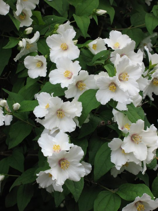 Photo 11: Philadelphus flowers, commonly known as mock orange, used as an alternative to orange blossoms thanks to their similar inebriating scent
