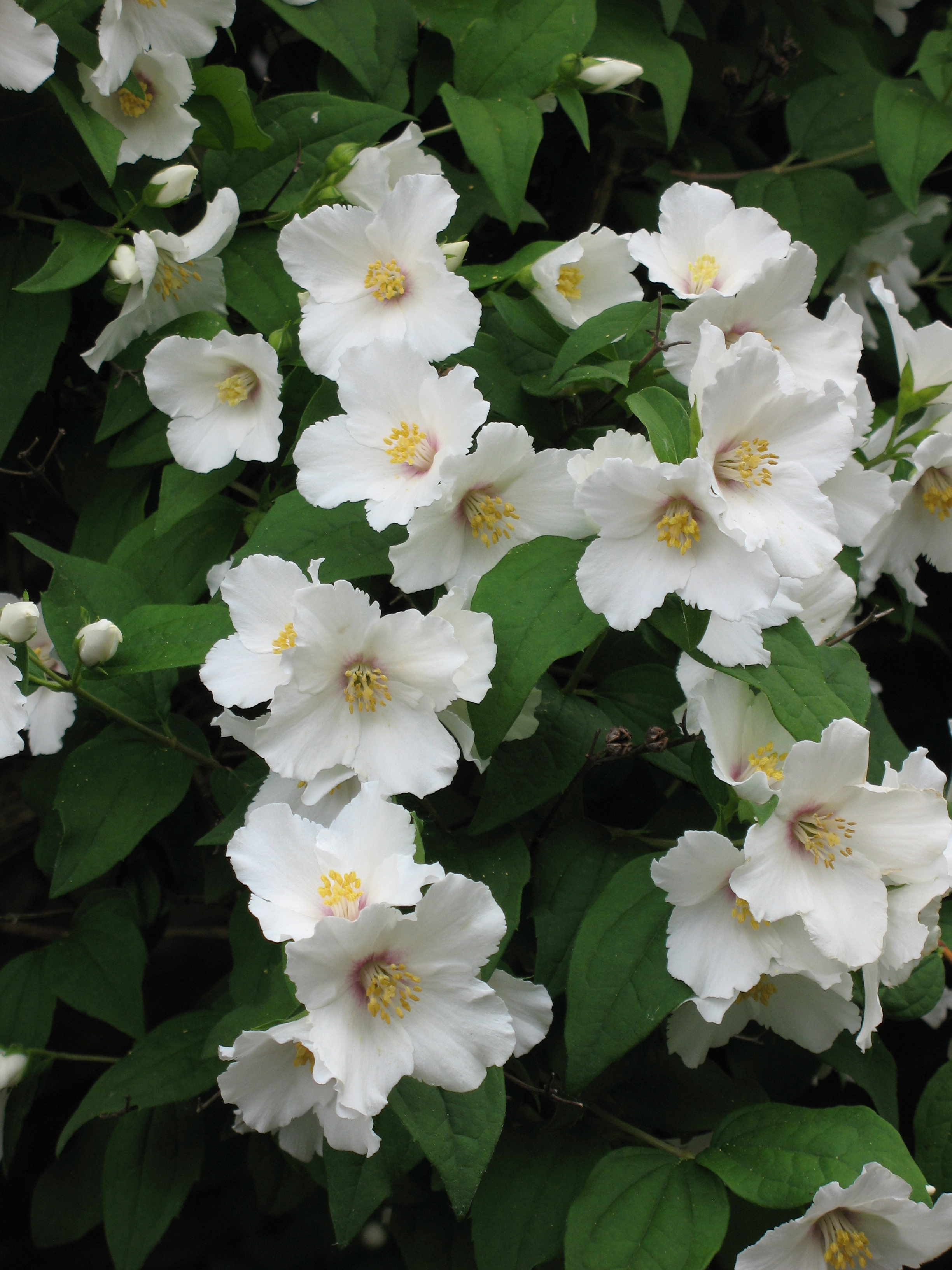 fleurs de Philadelphus (Seringat), utilisées comme alternative à celles d'oranger, grâce à son parfum d'ivresse très similaire