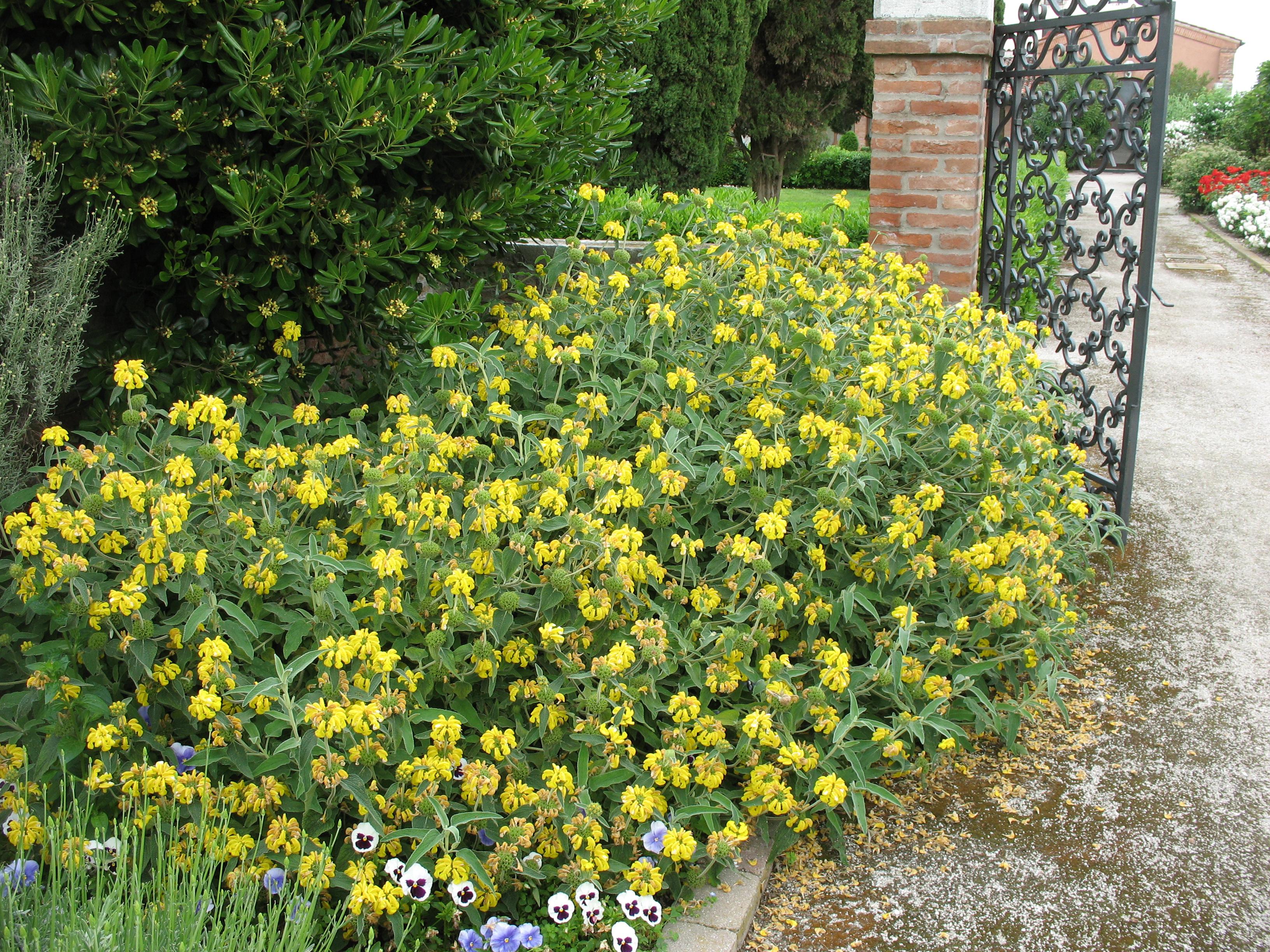 Phlomis fruticosa, populairement appelé Sauge de Jérusalem à la fois pour ses feuilles et pour son parfum aromatique semblable à ceux de la sauge