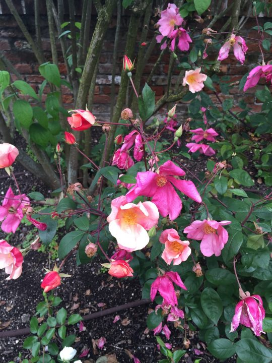 "Photo 13: Rosa Chinensis Mutabilis with its simple ""ruffled"" flowers with colours ranging from yellow, orange and coppery pink to deep purple"