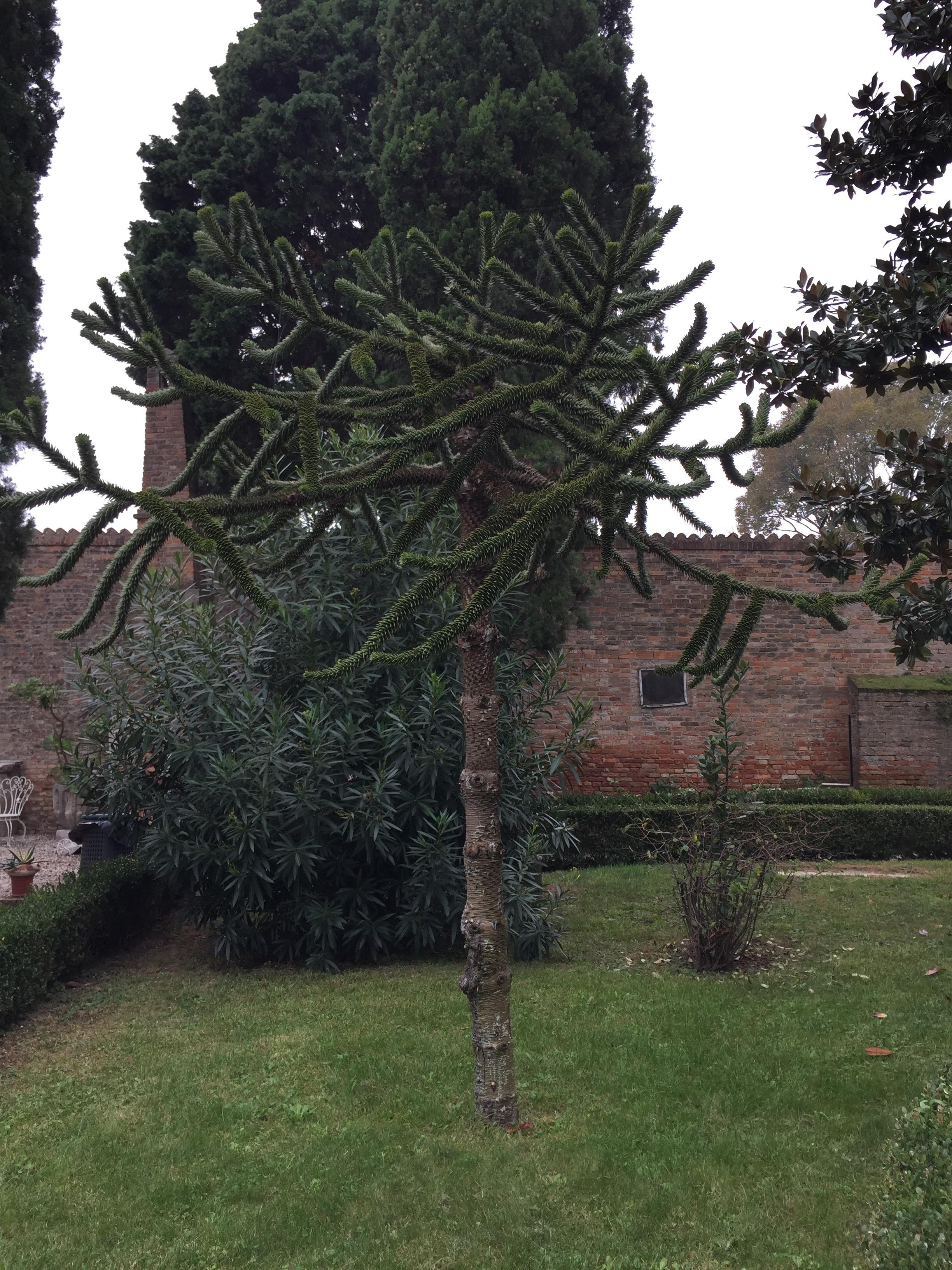 au premier plan l'Araucaria, épineux dans son écorce et au sommet de ses feuilles et donc appelé désespoir du singe
