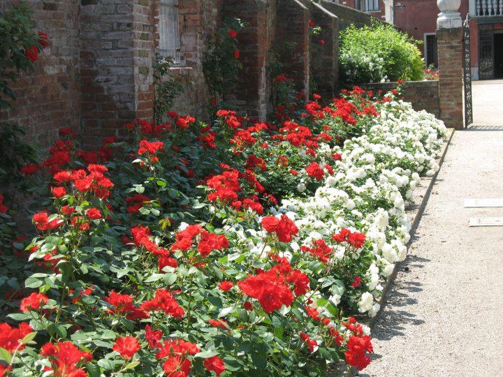 Photo 8: Kosmos and Sevillana roses