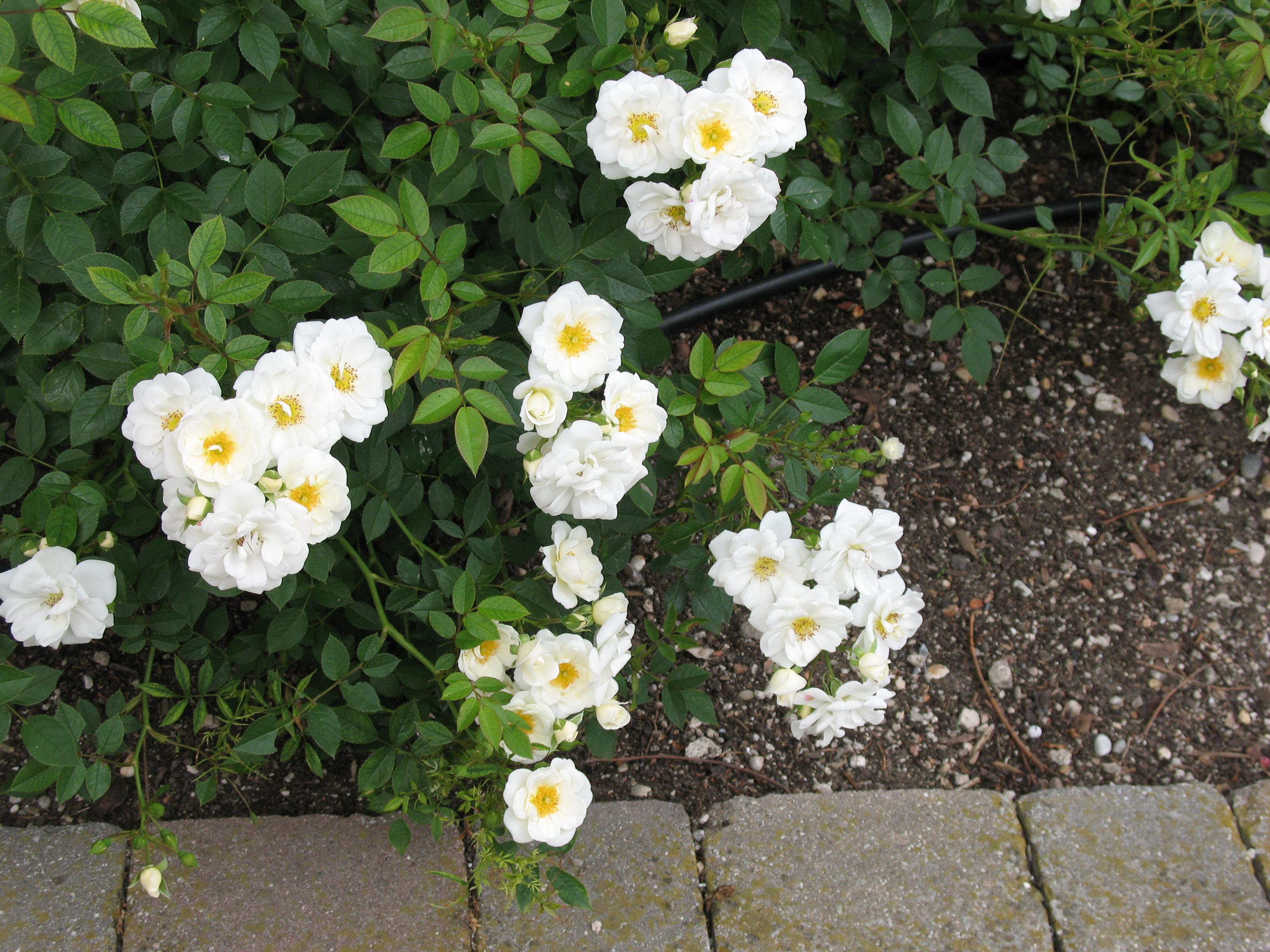 roses Pénélope avec leurs séduisantes étamines dorées