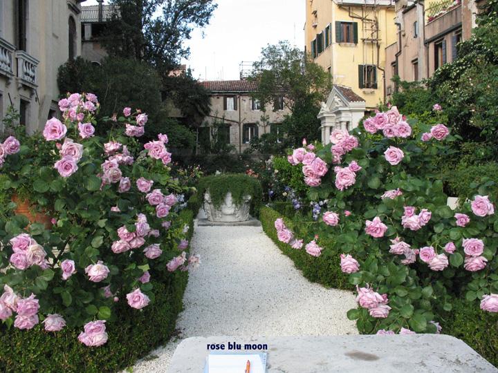 Venezia, Palazzo Malipiero Barnabò, fioritura di rose Blue Moon; sullo sfondo al centro la vera da pozzo e sulla destra l'edicola di Nettuno