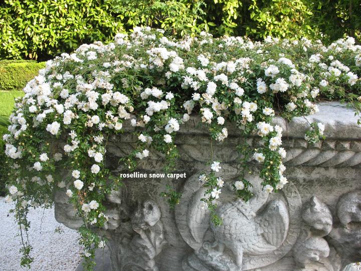 Venezia, Palazzo Malipiero Barnabò, le roselline Snow Carpet tappezzano la vera da pozzo storica con l'aquila dell'Imperatore Barbarossa
