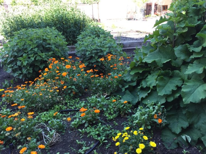 Photo 10 section with marigold and burdock in the foreground. The former is a typically Mediterranean plant with wound healing properties, while the latter is used to treat acne, dermatitis and eczema. A type of mallow can be seen in the background