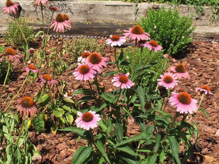 Photo 12 Purple cornflower or Echinacea has anti-bacterial, anti-viral and anti-inflammatory properties and is therefore particularly suitable to treat colds and flu symptoms in general