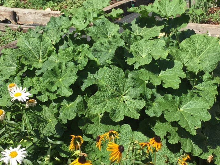 Photo 14 wild round rhubarb leaves