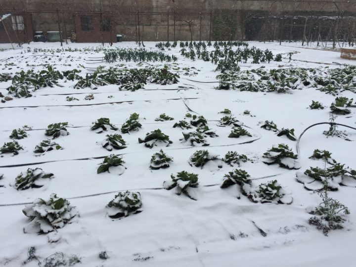 Photo 17 some vegetable garden products covered in snow