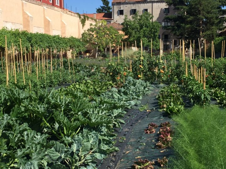 Photo 18 view of the vegetable garden, with courgettes in the foreground (left) and tomatoes in the background (right)