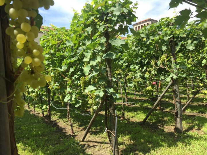 Photo 20 the lovely vineyard rows