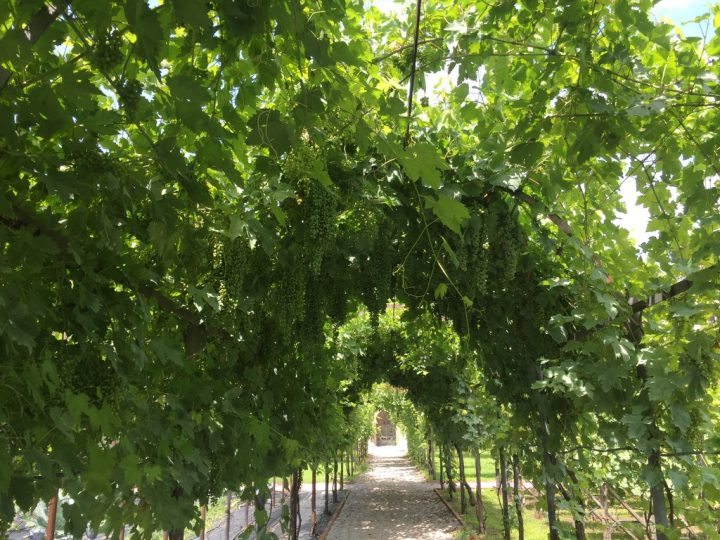 Photo 21 grape bunches along the left axis