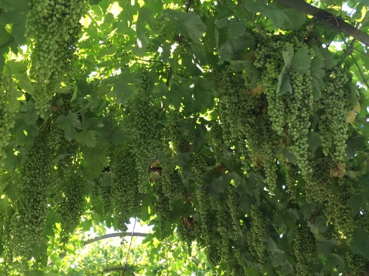 Photo 22 grape bunches along the left axis, detail