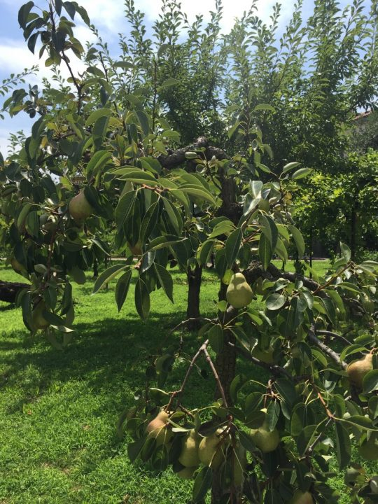 Photo 24 another view of the orchard with pear tree in the foreground