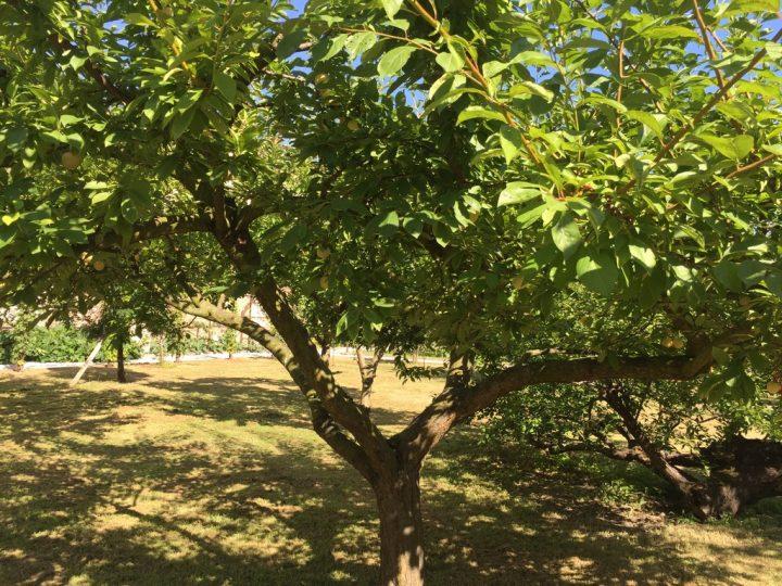 "Photo 28 ""goccia d'oro"" plum variety"