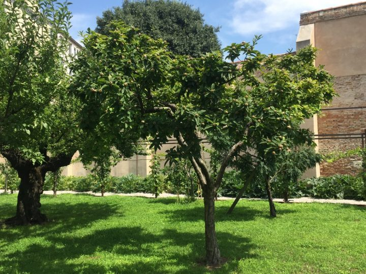 Photo 29 common medlar (=Mespilus germanica, spread by the Romans in Germany) not to be confused with the well-known loquat (=Eriobotrya japonica) of Asian origin. On the left, another plum tree with a very large trunk