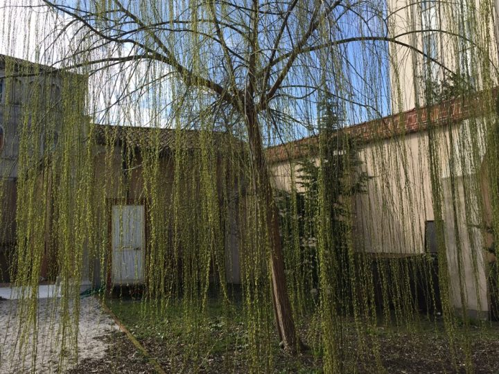 Photo 31 weeping willow in spring