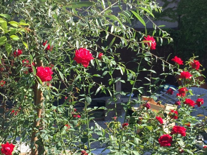 Photo 33 red roses reminiscent of the Passion of Jesus
