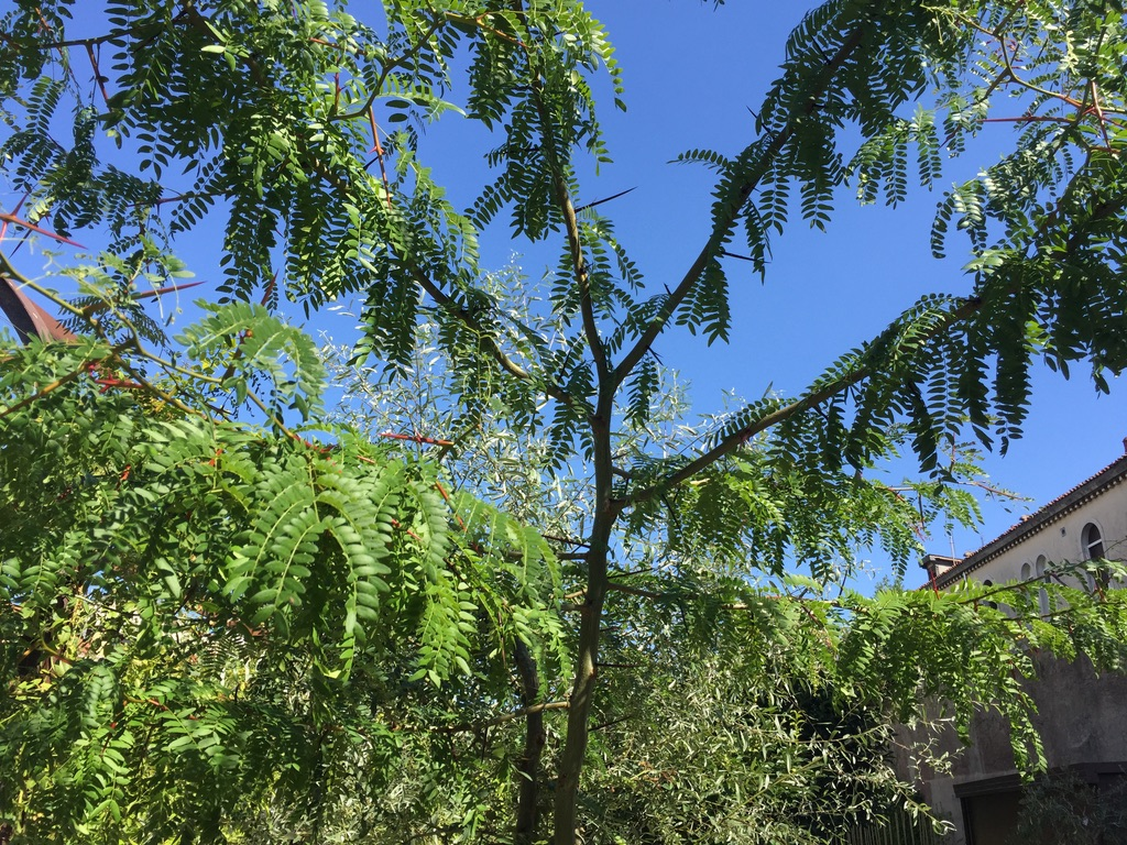 Photo 34 Jerusalem thorn or Christ's thorn: notice the long spines of the tree. According to legend, the spiny branches were used to make the crown of thorns placed on Christ's head