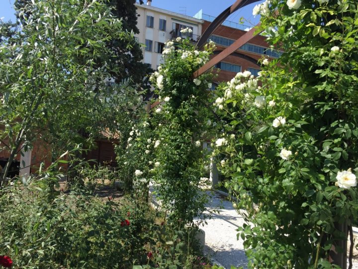 Photo 36 Iceberg rose on the pergola