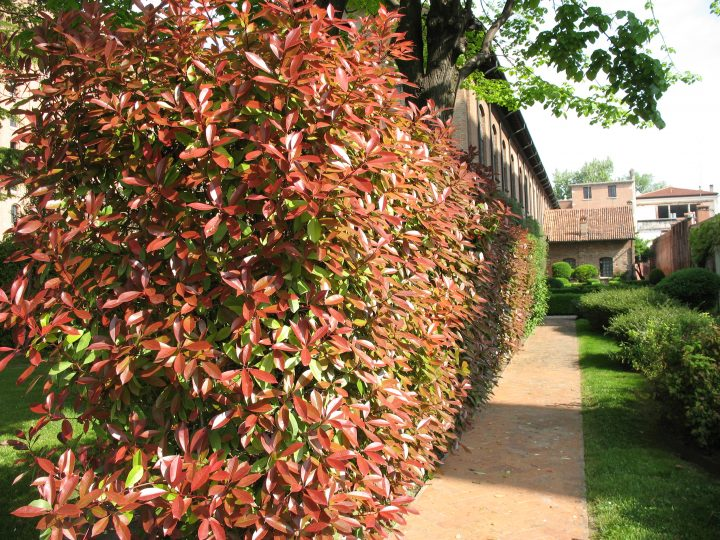 photo 21: the red colour of the photinia plants delimiting the grove in spring