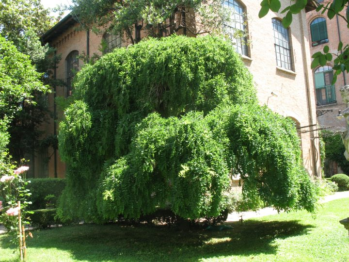 photo 23: weeping Japanese pagoda tree (Sophora japonica Pendula) in summer