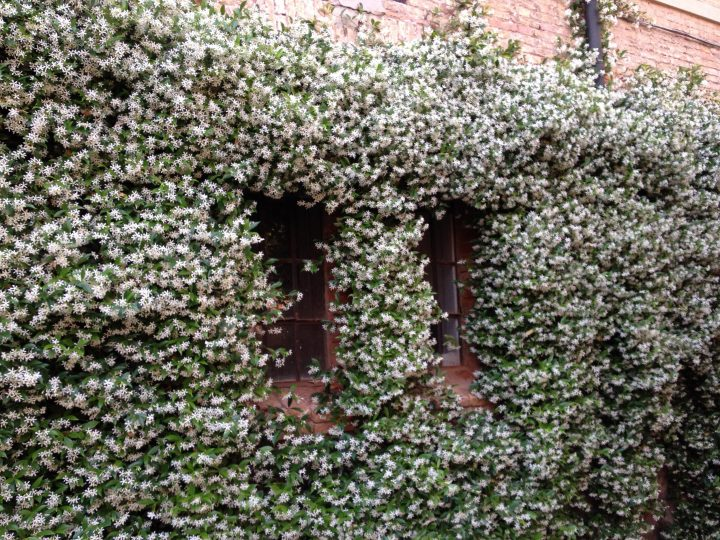 photo 30: Jasmine (Rhyncospermum jasminoides) covers the corridor leading into the courtyard as well as its walls. When in bloom, it spreads its smell all over the courtyard