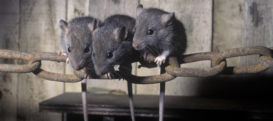The silent carriers of the plague (rats)