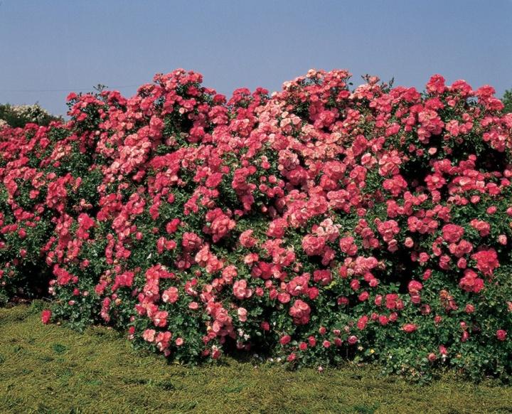 Un bocciolo di rosa rossa per celebrare l'amore eterno
